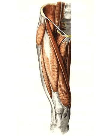 Анатомия в картинках мышцы бедра